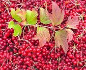 Viburnum berries — Stock Photo