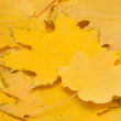 Stock Photo: Yellow autumn leaves