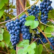 Wine grapes — Stock Photo #31561493