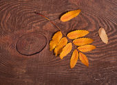 Autumn rowan leaves — 图库照片