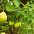 Pear fruit — Stock Photo #34958569