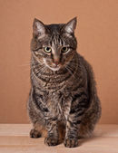 Big tabby cat — Stock Photo