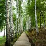 ������, ������: Birch alley