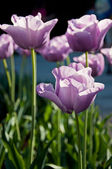 Beautiful tulips — Stockfoto