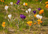 Beautiful crocuses — Stock Photo