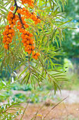 Buckthorn on trees — Stock Photo