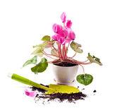 Planting cyclamen flowers — Stock Photo