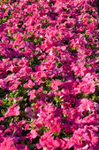 Petunia flowers background — Stockfoto