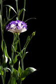 Eustoma — Stock Photo