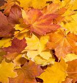 Rowanberry leaves — Stock Photo