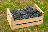 Wine grapes in box — Zdjęcie stockowe