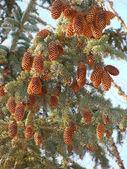 Spruce cones — Stock Photo