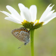 A close-up of the butterfly (plebejus argus) on white camomile flower — Stock Photo #13885837