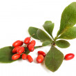 Stock Photo: Ripe barberries on branch with green leaves
