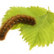 Caterpillar with green leaf — Stock Photo