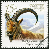 RUSSIA - 2013: shows Caucasian tur (Capra caucasica), series Fauna of Russia, Wild goats and rams — Stock Photo