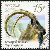 RUSSIA - 2013: shows wild goat (Capra aegagrus), series Fauna of Russia, Wild goats and rams — Stock Photo