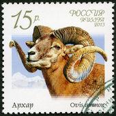 Rusia - 2013: argali (ovis ammon), serie fauna de rusia, cabras salvajes y carneros — Foto de Stock