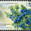 RUSSIA - 2013: shows Daurian juniper (Juniperus davurica), series Flora of Russia, Cones of coniferous trees and shrubs — Stock Photo