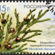 RUSSIA - 2013: shows Microbiota decussata, series Flora of Russia, Cones of coniferous trees and shrubs — Stock Photo