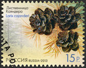 RUSSIA - 2013: shows Larch Cajanderi (Larix cajanderi), series Flora of Russia, Cones of coniferous trees and shrubs — Stock Photo