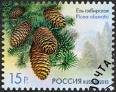 RUSSIA - 2013: shows Siberian Spruce (Picea obovata), series Flo — Stock Photo