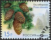 RUSSIA - 2013: shows Siberian Spruce (Picea obovata), series Flo — Stock Photo