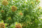 Rhodiola rosea — Stock Photo