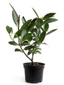 Bay Laurel (Laurus nobilis) in pot — Stock Photo
