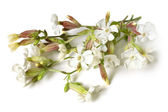 Beautiful flowers of the Bladder Campion — Stock Photo