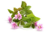 Flowers of a Rubus arcticus with leaves — Stock Photo