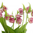 Flowers of the Spotted Lady's Slipper (Cypripedium guttatum) — Stock Photo