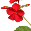 Blossoming red geranium — Stock Photo