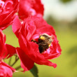 A bumblebee collects pollen from the flowers of a rose — Stock Photo