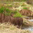 Sedge on swamp, SakhYakutia — Stock Photo #32587355