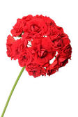 Blossoming red geranium — Stock Photo