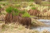 Sedge on swamp, Sakha Yakutia — Stock Photo