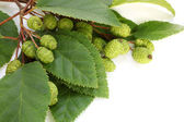 Alder branch with green female catkins — Stock Photo