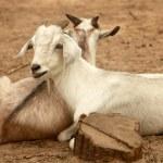 Постер, плакат: Pair of goats