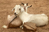 Pair of goats — Stock Photo