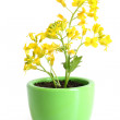 Rapeseed (Brassica napus) in pot — Stock Photo