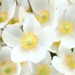 Постер, плакат: Anemone sylvestris snowdrop anemone