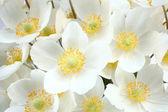 Anemone sylvestris (snowdrop anemone) — Stock Photo