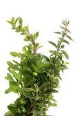 Fresh thyme twigs — Stock Photo