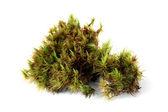 Green moss (Polytrichum commune) — Stock Photo