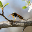 Wasp on a tree branch, macro — Stock Photo