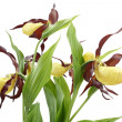 Flowers of the Cypripedium calceolus — Stock Photo