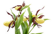 Flowers of the Cypripedium calceolus — Stockfoto