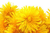 Bright beautiful yellow dandelions — Stock Photo