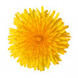 Bright beautiful yellow dandelion — Stock Photo #48840765